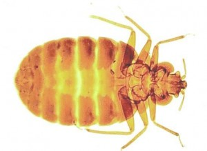 Bed Bugs-Pest Control Bristol
