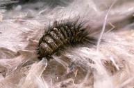 Carpet Beetle-Pest Control Bristol