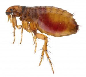 Flea Removal Bishopsworth