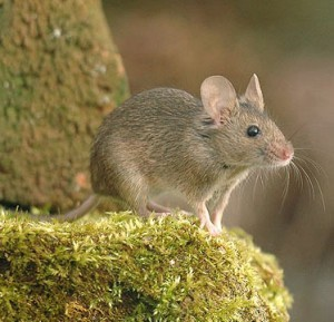 house-mouse31-300x289