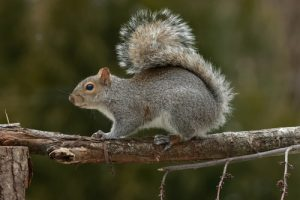 Squirrel Control Clutton